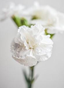 Gorgeous White Carnations